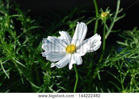 White sunlit anemone flower among green leaves