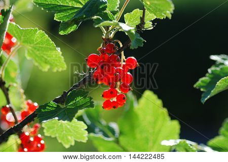 Growing sunlit red currants among green leaves
