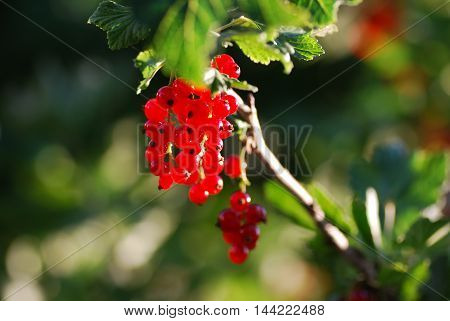 Branch with sunlit and glowing red currants