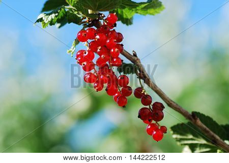 Growing red currants with a bright blue background