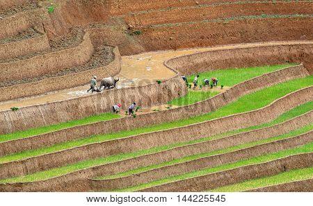 YEN BAI, VIETNAM, May 23, 2016 Hmong farmers, Mu Cang Chai high mountains, Yen Bai province, season rice cultivation, on the terraces