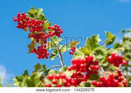 Bunch Of Guelder-rose Berries On The Blue Sky Background