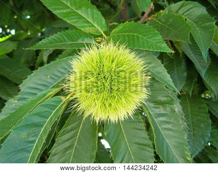 Chestnut tree with delicious chestnuts to different meals
