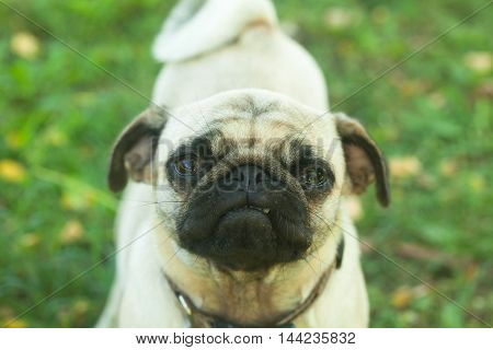 Little pug dog with wrinkles in grass
