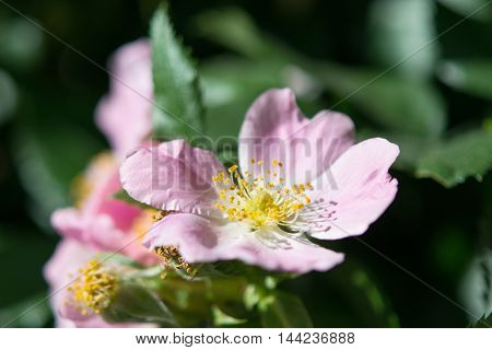 Flower of dog-rose (Rosa canina) growing in nature