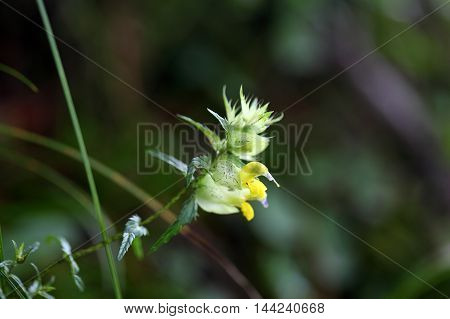 Flowers of the rattle plant Rhinanthus glacialis in the Bavarian Alps.