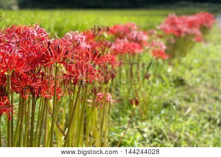 Lined red spider lily flowers and blur in green field