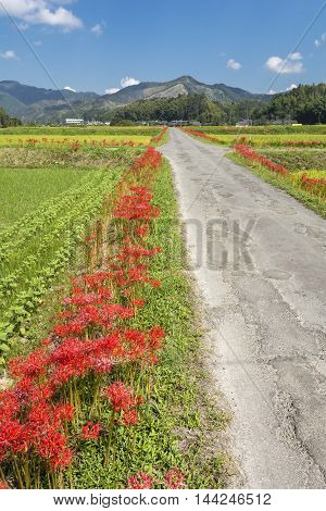 Red spider lily flowers beside farm road in vertical composition