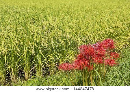 Red spider lily flowers side of rice field which blooms in cluster