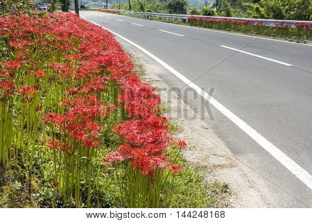 Red spider lily flowers beside paved road