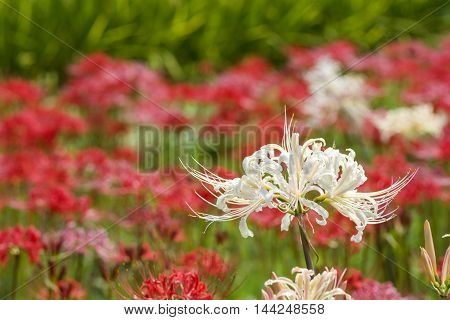 White spider lily flower in front of red spider lily flowers