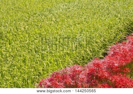 Lined red spider lily flowers beside rice field