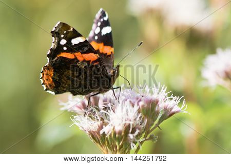 Red admiral butterfly (Vanessa atalanta) nectaring on flower. Insect feeding on hemp-agrimony (Eupatorium cannabinum) showing orange and white markings on upper surfaces of wings
