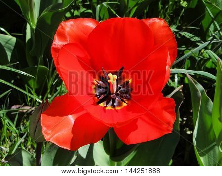 Closeup of a Tulip on the Island of Mainau in Konstanz Germany located on Lake Constance