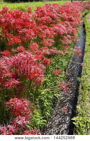 Red spider lily flower field and agricultural waterway in vertical composition