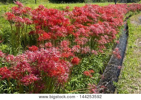 Red spider lily flower field and agricultural waterway