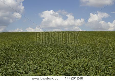 fresh green soy field. Soybean field. Background
