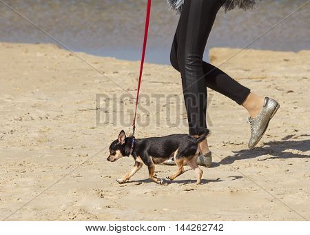 Small Pinscher on a red leash is walking along the sandy seashore with owner