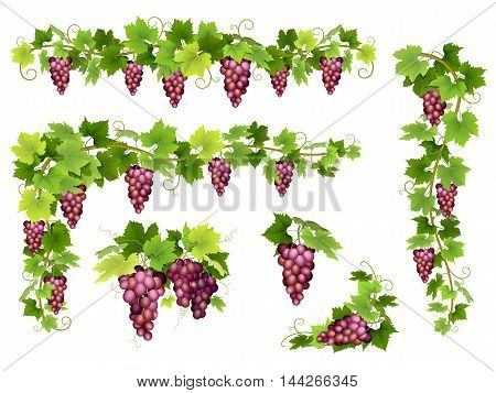 Set of bunches of red grapes. Cluster of berries, branches and leaves. Vector illustration about harvest and wine making.