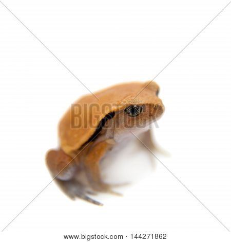 Madagascar tomato Frogling, Dyscophus antongilii, isolated on white background