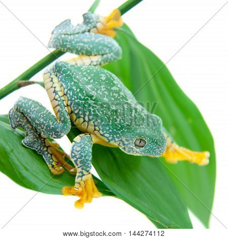 The fringe tree frog, Cruziohyla craspedopus, isolated on white background