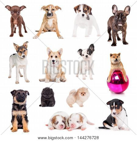 Set of Puppies isolated on white background