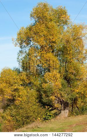 Yellow Leaves Autumn Tree River