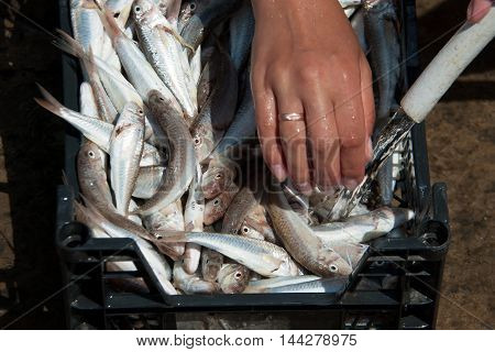 Women's hands wash the fish red mullet bright summer day