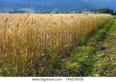 Wheat field landscape. Rural region on Plateau of Sault Provence France