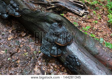 Log in the woods with a black polypore mushrooms during rainy weather