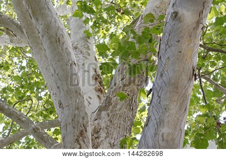 A beautiful American sycamore tree with intricate, textured bark.