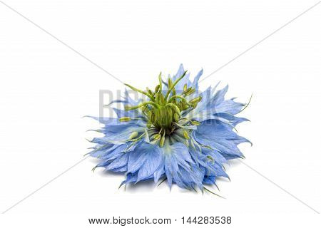 blue knapweed flower on a white background