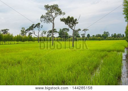 beautiful green rice paddies, rainy season, background