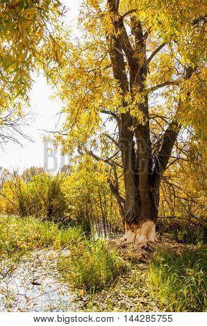 Autumn Beavers Spoiled Tree