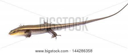 Close up chameleon isolated on white background.