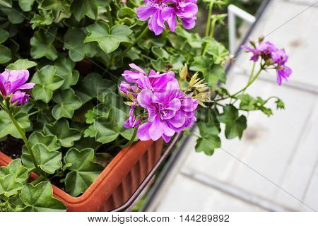 Pink geranium in vase seen from above horizontal image