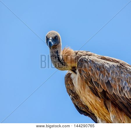 A White-backed Vulture perched in a tree in Southern Africa