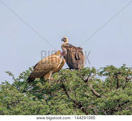 A pair of White-backed Vultures perched in a tree in Southern Africa