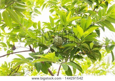 Custard apple agriculture apple on the background.