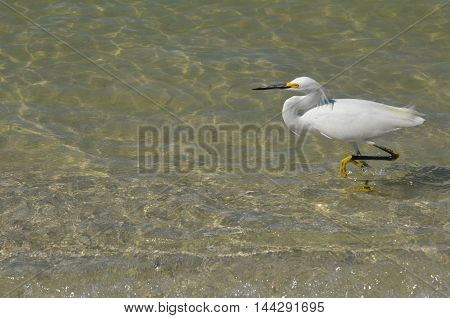 Wading eastern great egret in the ocean.