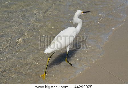 White egret walking along the ocean's edge.
