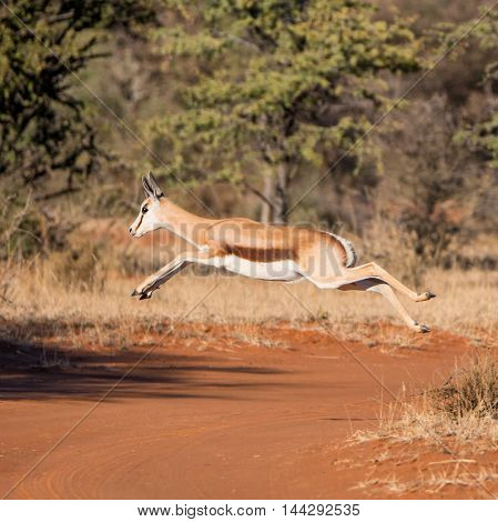 A Springbok gazelle jumps as it crosses a track in Southern African savanna