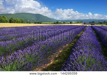 Stunning landscape with lavender field at evening. Plateau of Sault Provence France.