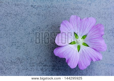 Flower (LAVATERA Thuringian) amethyst color on a blue background with space for text