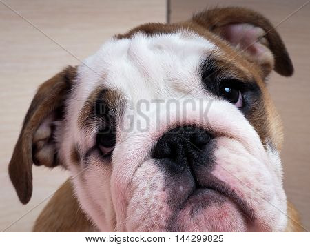 Sad English bulldog puppy. Muzzle dog close. Puppy looks with hope and expectation
