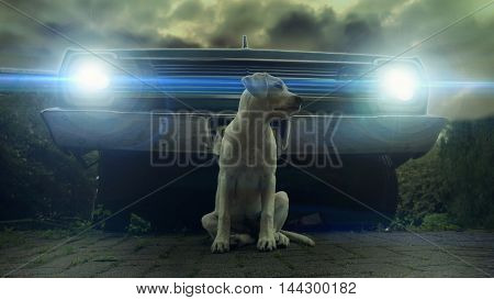Looking like a cool movie scene - a labrador puppy in front of an old car