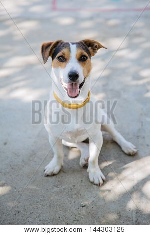 Portrait of pet dog of white and brown looking at camera while sitting on asphalt road in daylight