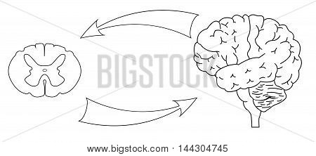 Joint work of the brain and spinal cord. Black and white illustration. Isolated. Central nervous system. CNS logo, human brain for medical design.