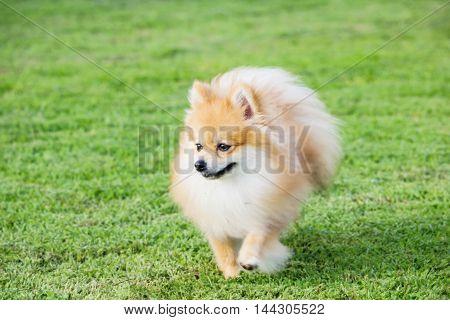 Pomeranian running on green grass in the public park.