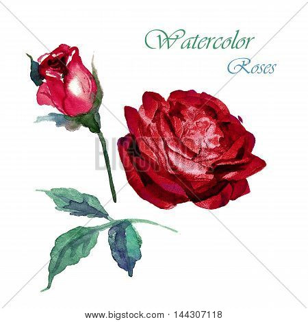Flowers rose with leaves watercolor illustration for background